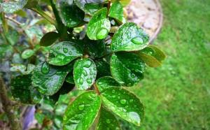 rain-garden