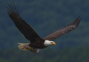 Did you know there are bald eagles nesting in Mentor Marsh?