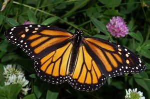Learn about Monarch butterflies at Mentor Library's Headlands Branch on Aug. 29.