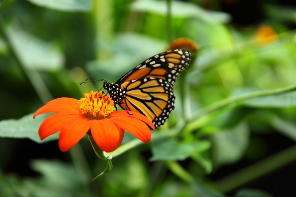 Learn how our habitat helps the Monarch butterfly during its migration.