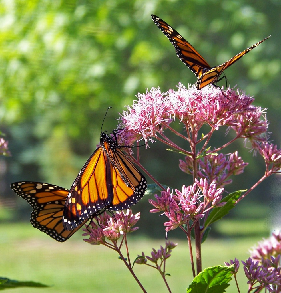 Keep the world colorful by helping to save the Monarch butterfly.
