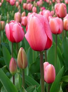 320px-Tulip_-_floriade_canberra