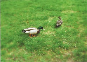"""The Ducks!"""