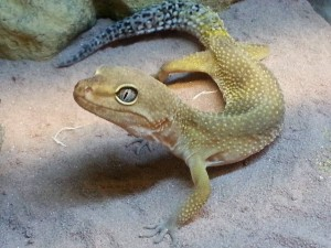 This adorable leopard gecko is just one of the many rescued reptiles from Herps Alive. Meet more this Thursday!