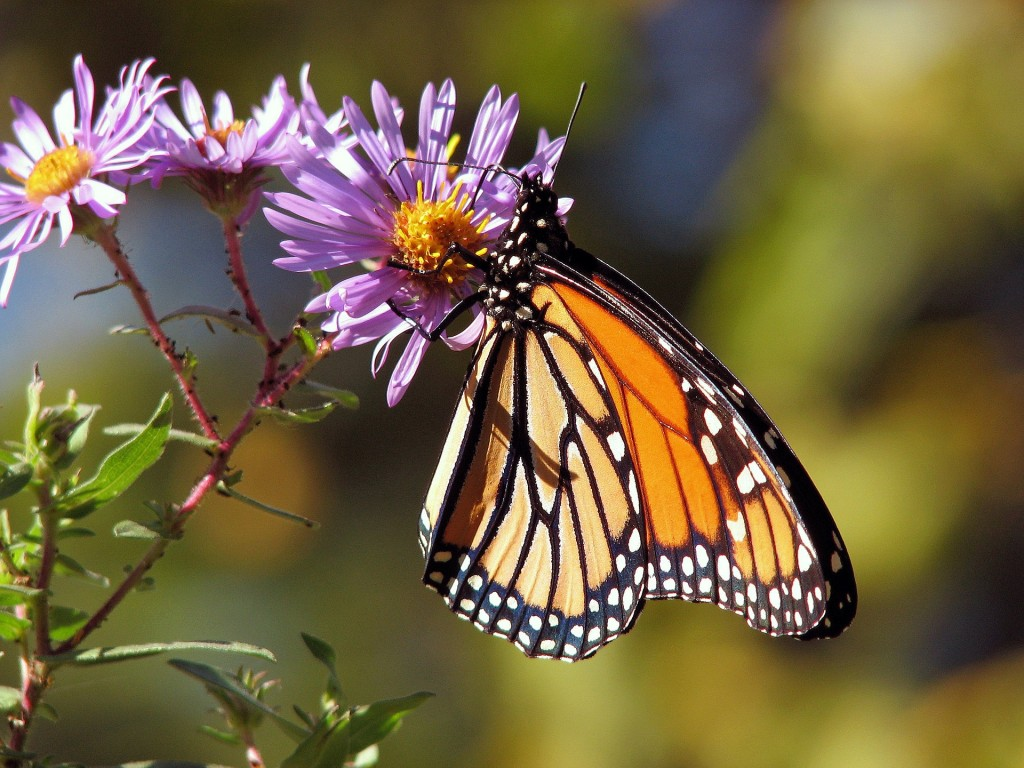 Support biodiversity and invite local fauna (like the Monarch butterfly) to your yard by using native plants.