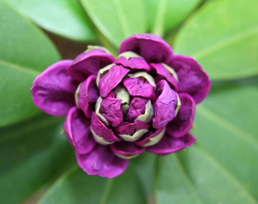Learn how to use perennials like rhododendron to create continuous color in your garden.
