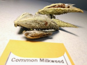 You can get milkweed for free from Mentor Public Library's seed library.
