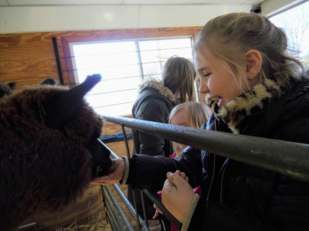 Clare laughs as an alpaca eats from her hand.