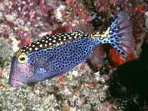 Whitespotted_boxfish_Ostracion_meleagris_photo_Randall_J_E