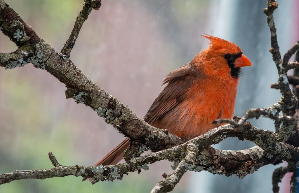 cardinal-4175774_1920